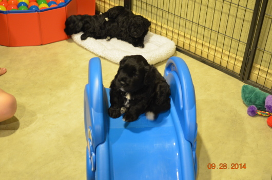 Gold boy king of the slide (Cruise x Portia) 4 wks