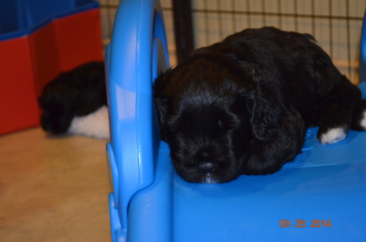 Gold boy - sleepy time (Cruise x Portia) 4 wks