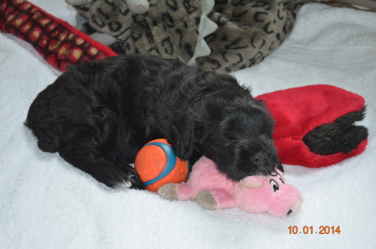 Pink girl snuggled up with toys - 4 wks (Cruisee x Portia)