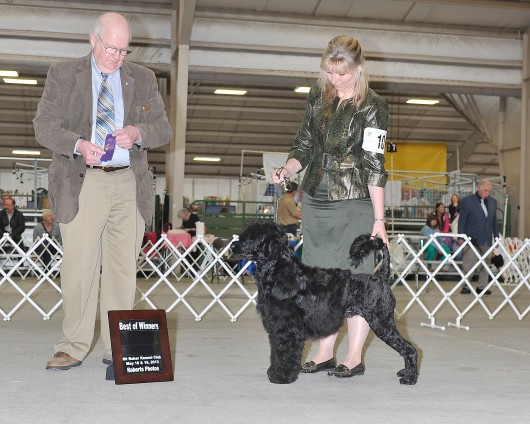 Devlyn - Best of Winners at the Lynden show age 2
