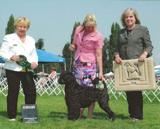 Devlyn Best Bred By at the PNWPWDC Regional Specialty 2014 - age 3